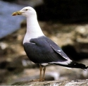 Lesser black-backed gulls studied by Pat Monaghan for her gr...