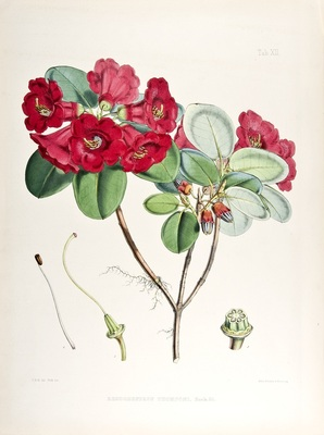 Rhododendron thomsonii by Walter Fitch from Joseph Dalton Hooker's Illustrations of Himalayan Plants