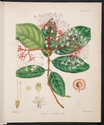 Colour plate of Ixora Jucunda