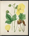 Colour plate of Hibiscus angulosus