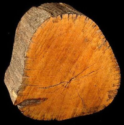 Piece of tree near which Livingstone's heart was buried