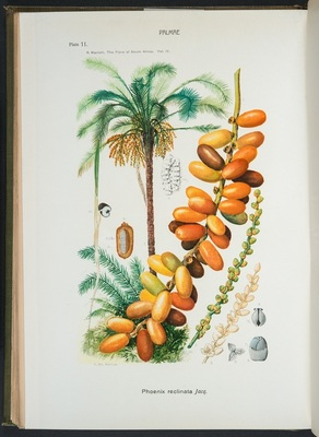 Plate 11 of <i>The Flora of South Africa</i>